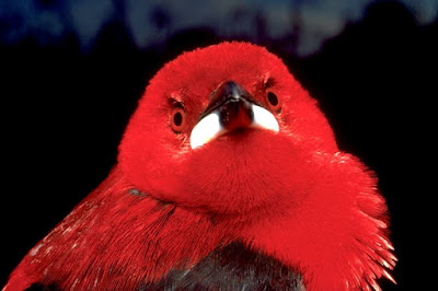 Brazilian Tanager, tié sangue, aves, aves do brasil, birds, birding Brasil, pássaros, mata atlântica, aves da mata atlântica, animal, natureza