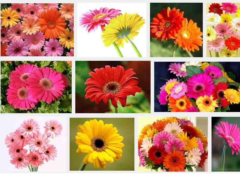 Gerbera Flower Bengali Meaning Flowers And Their Meanings List: 12 Most Famous