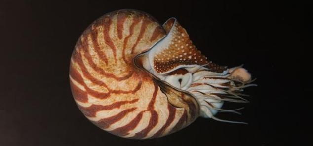 Nautilis y flotabilidad