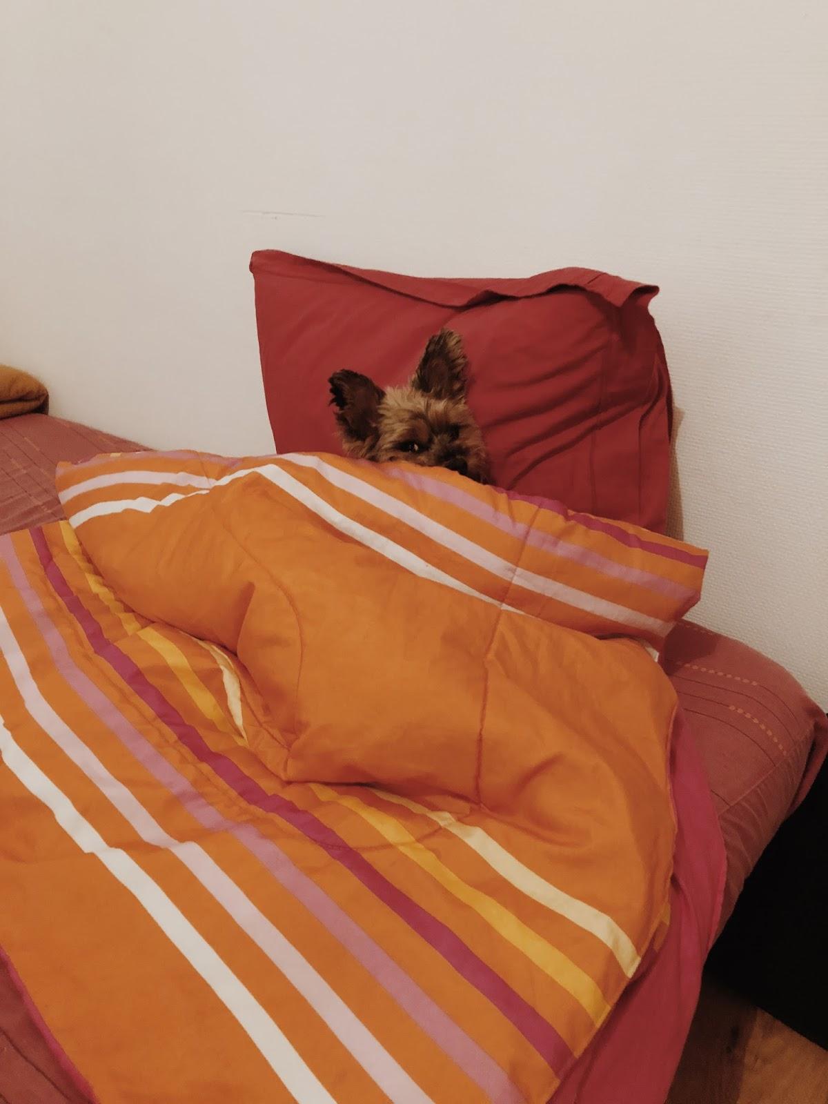 Yorkhire Terrier w łóżku