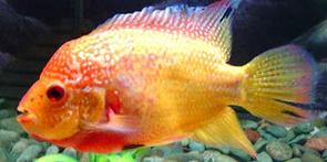 Louhan Golden Base Mutasi betina