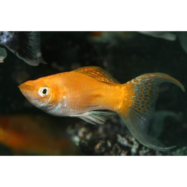 Male and female molly fish