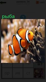 в аквариуме плавает цветная рыбка около коралла