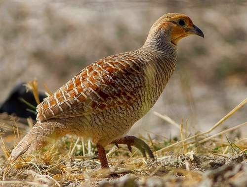 Indian bird - Grey francolin - Francolinus pondicerianus