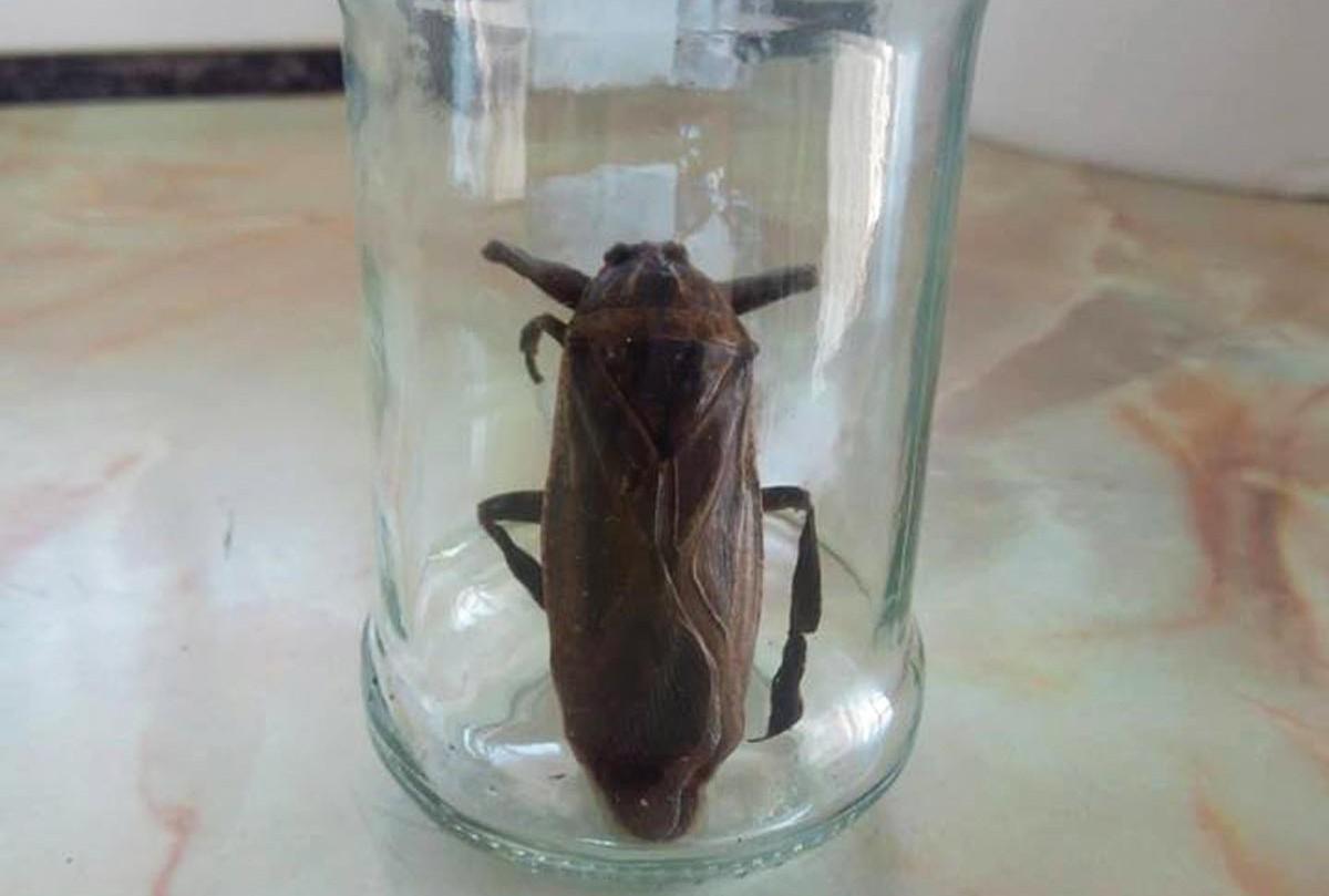 Το σαρκοφάγο έντομο εθεάθη και στη Ροδόπη