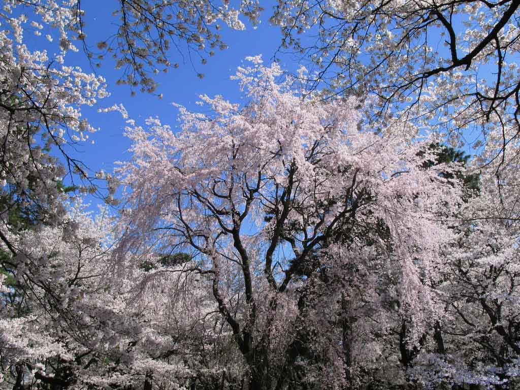 http://4.bp.blogspot.com/-m-ok-p5gw6c/Tjzl_T6pNfI/AAAAAAAAC3Y/msFWX-5pzIQ/s1600/cherry+blossom+wallpaper+backgrounds+3.jpg