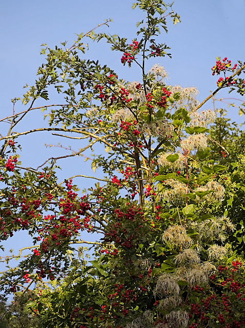 Clematis with fruit climbing around hawthorn full of red berries