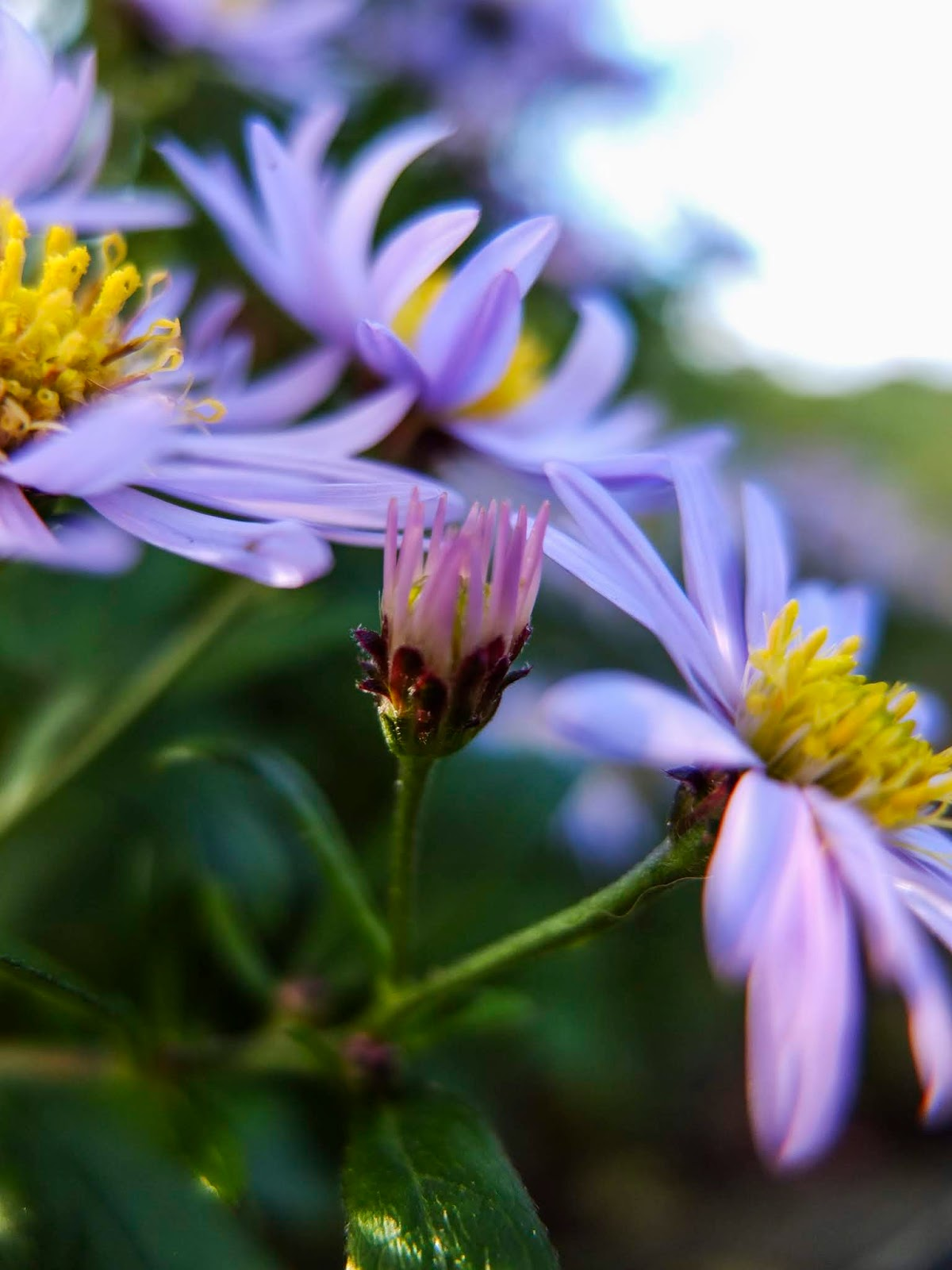 Close up of purple Aster flowers with yellow centres in dappled sunlight.