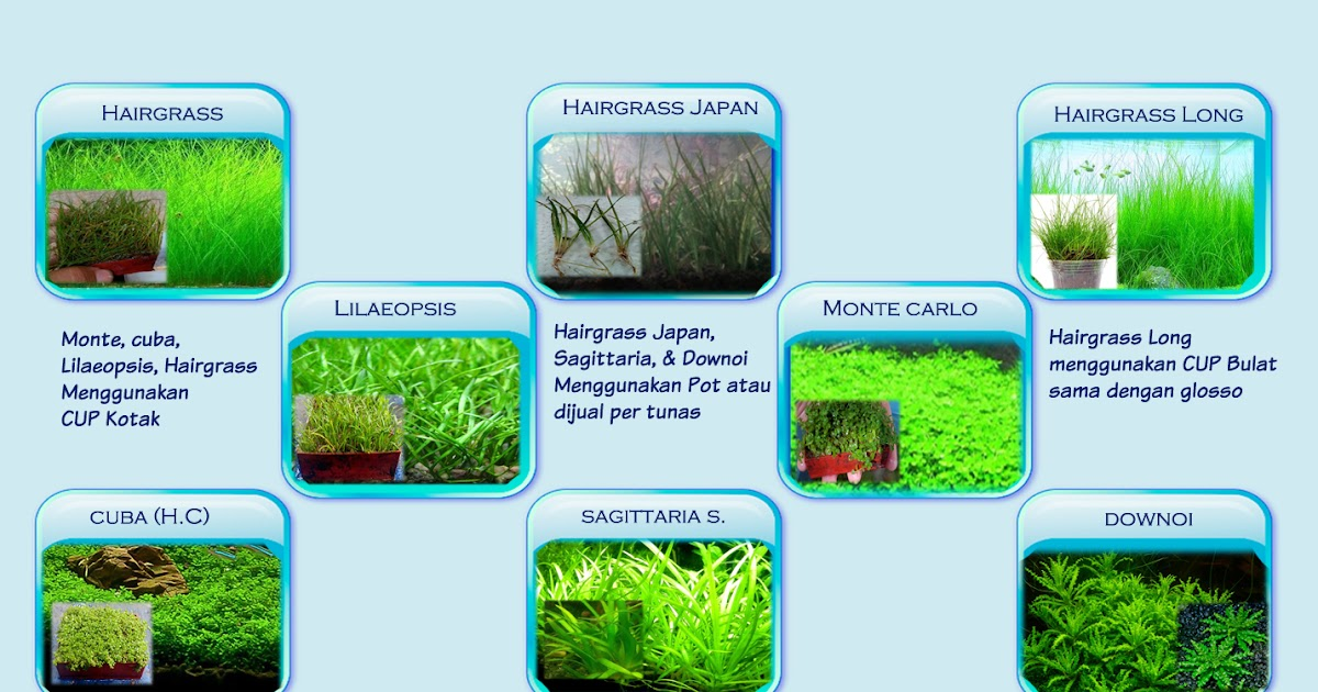 Pertanyaan Tanaman Karpet Aquascape Alam Ikan