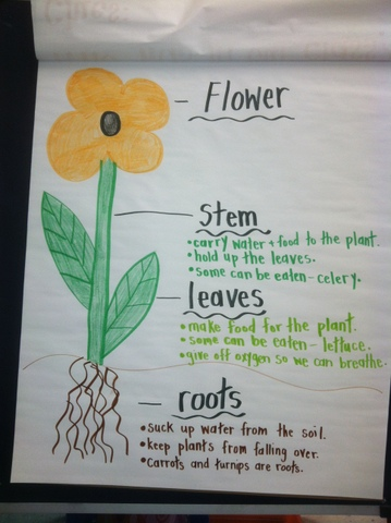 The second week of the carnation experiment shows that the water - kindergarten lesson plan