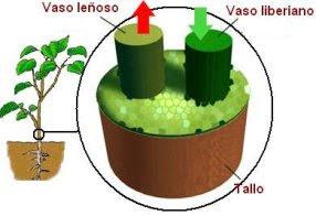 Resultado de imagen para Vasos Liberianos