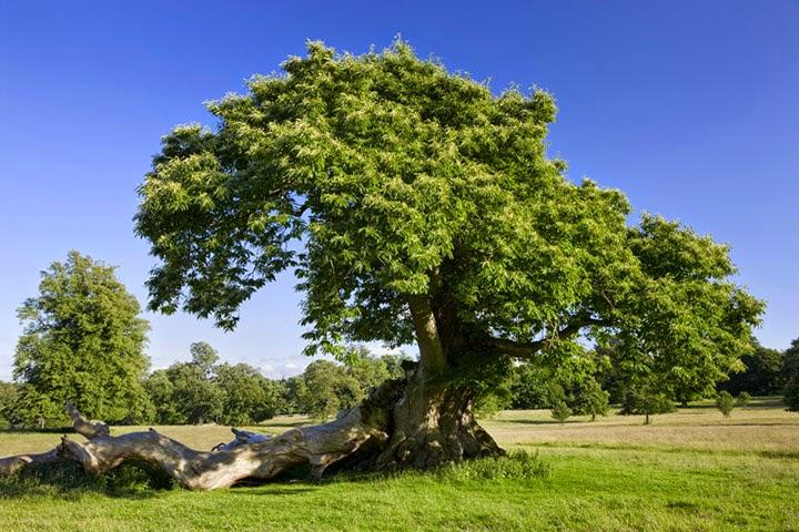How to grow sweet chestnut the garden of eaden for Trees garden of jane delawney blogspot
