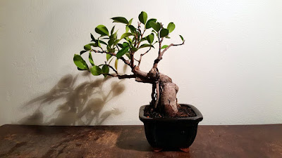 chinese banyan bonsai