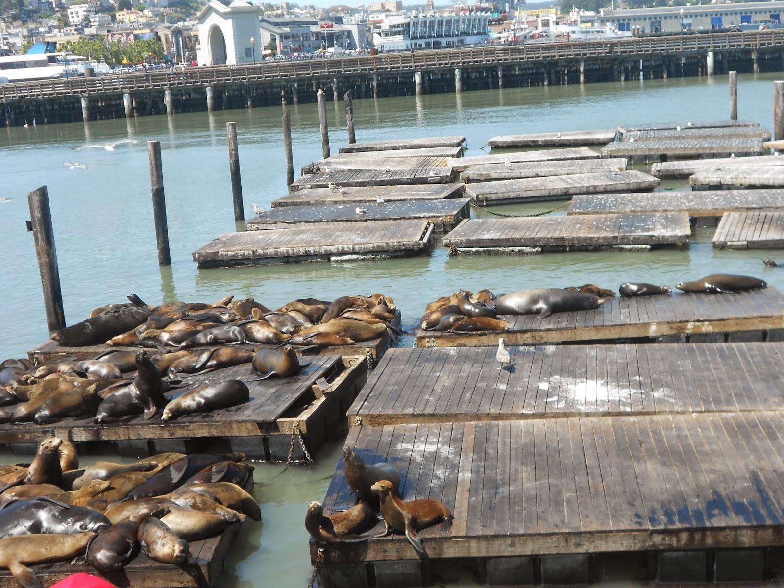 Leões marinhos - Pier 39 - São Francisco