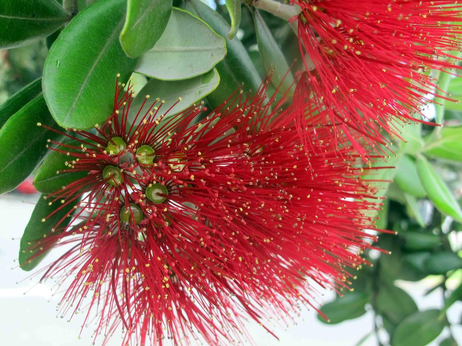 Shoot And Eat: Pohutakawa ( The New Zealand Christmas Tree
