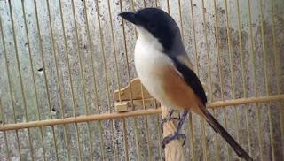 kali ini kami akan membahas burung predator petarung sejati Mengenal Burung Pented/Toed
