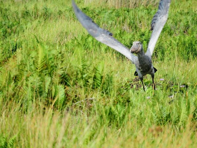 Shoebill taking flight in Mabamba Swamp near Entebbe, Uganda