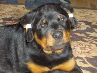 Rottweiler Ear Tapping