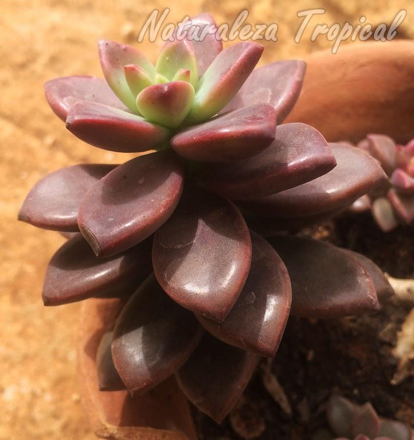 Vista lateral de la roseta de la planta Crepúsculo, x Graptosedum Vera Higgins