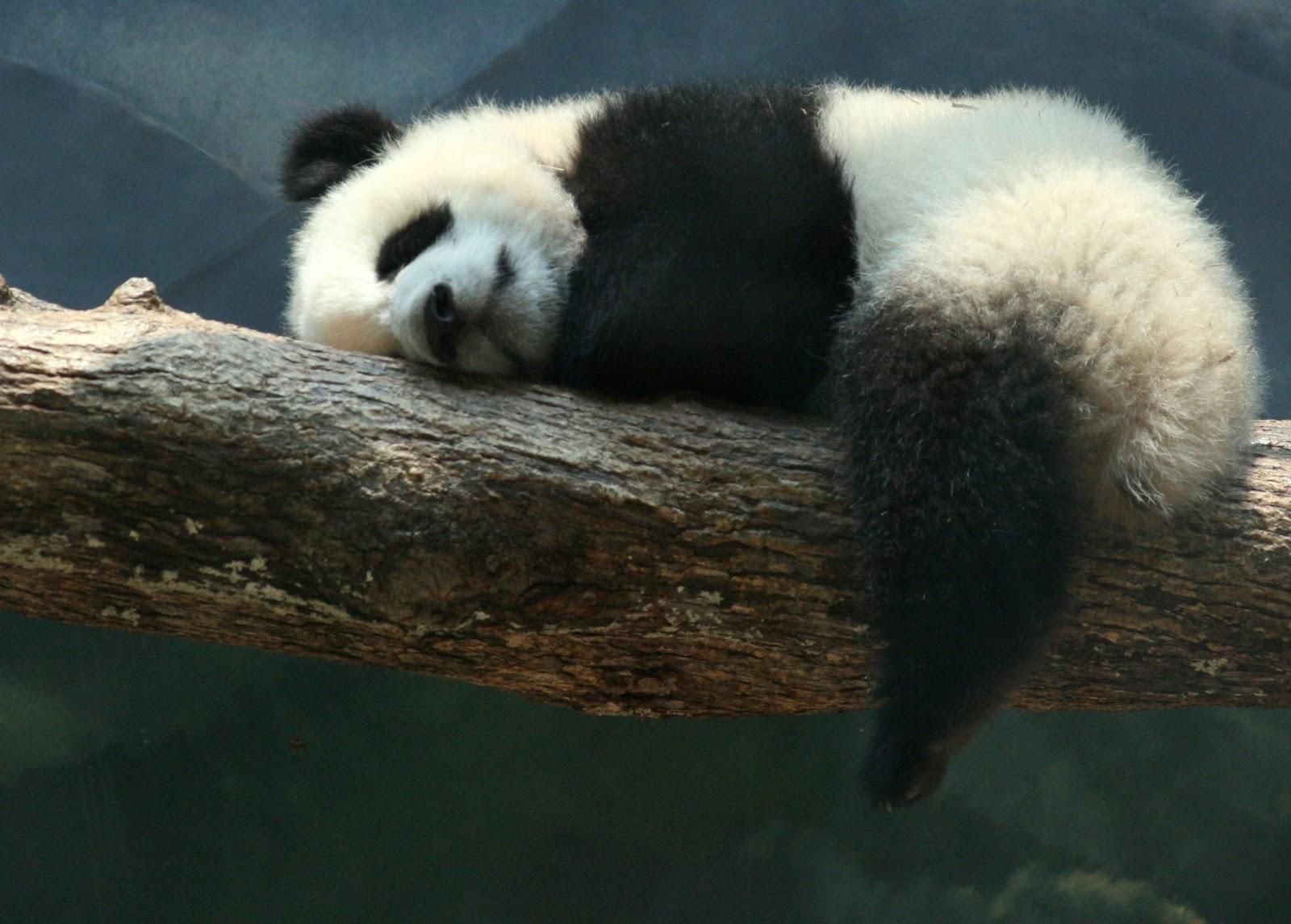 木の枝に寝そべっている生後六ヵ月の赤ちゃんパンダ
