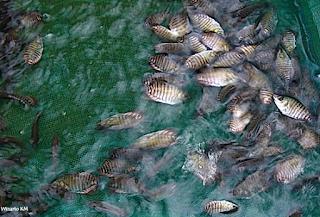 Cara Ternak Ikan Gurame Yang Baik Dan Benar