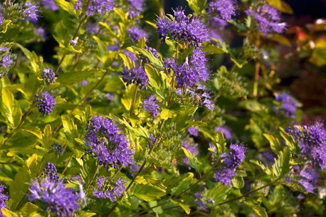 Sunshine Blue II bluebeard from Proven Winners