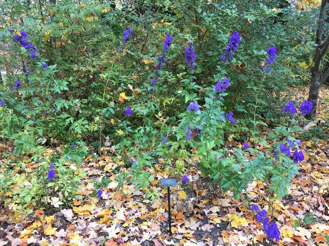 Monkshood - Aconitum carmichaelii 'Arendsii'