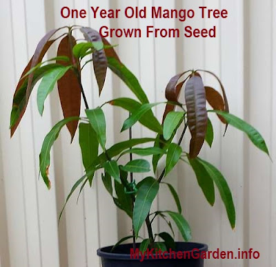 One year old mango tree grown from a seed.