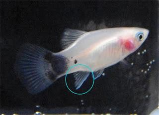 米奇魚blogger: 認識米奇魚