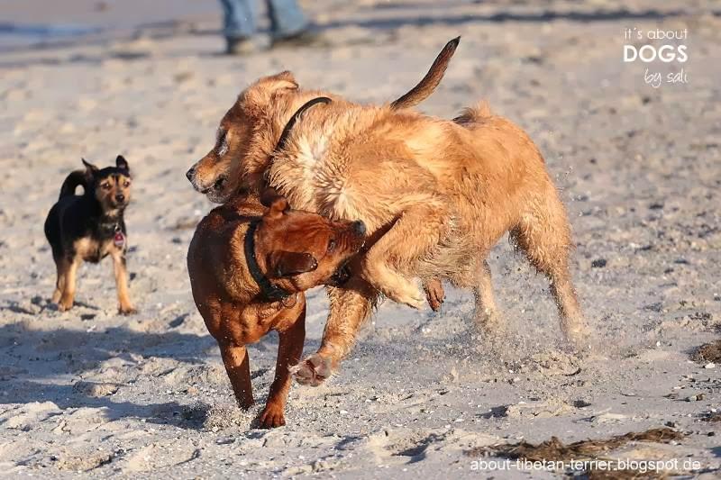 Zwei Hunde beim Spielen oder ist es doch schon ein Drohverhalten?