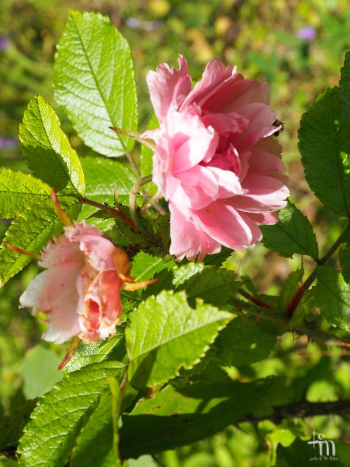 vaaleanpunainen ruusu - pink rose