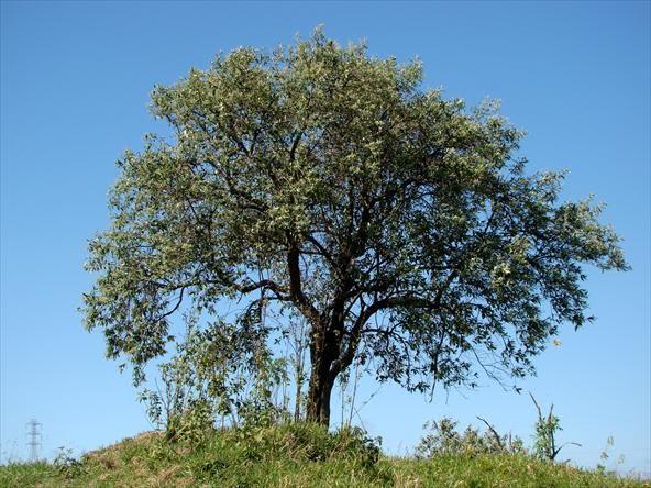 Candeia (Gochnatia polymorpha)