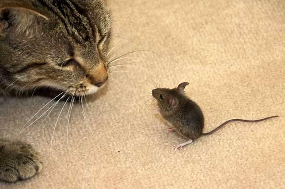 Мышки ловят котов картинка