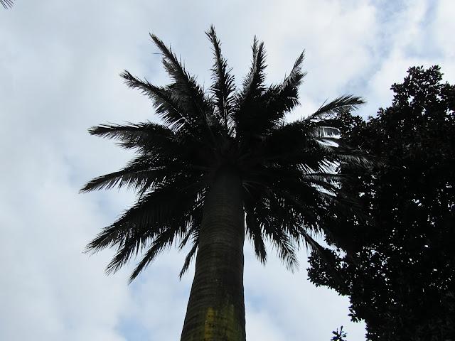Palma del Cile