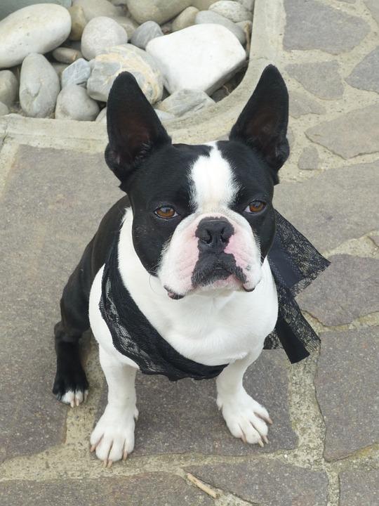 Rescue Canine-1-1: Boston Terrier Dog Rescue