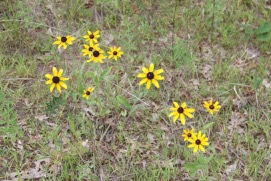 Black-eyed Susans in August
