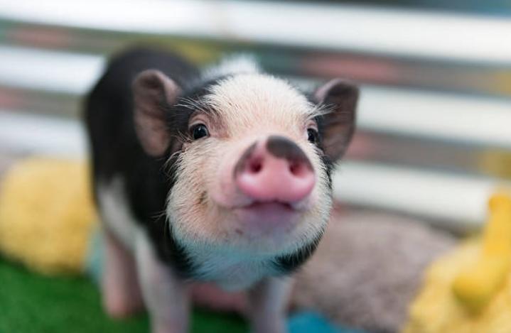 small-pig-porquinho-baby-pig-vetarq