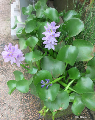 water hyacinth, Eichornia crassipes