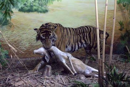 Diorama Harimau Menyeret Mangsanya - Museum Satwa, Jatim Park #5