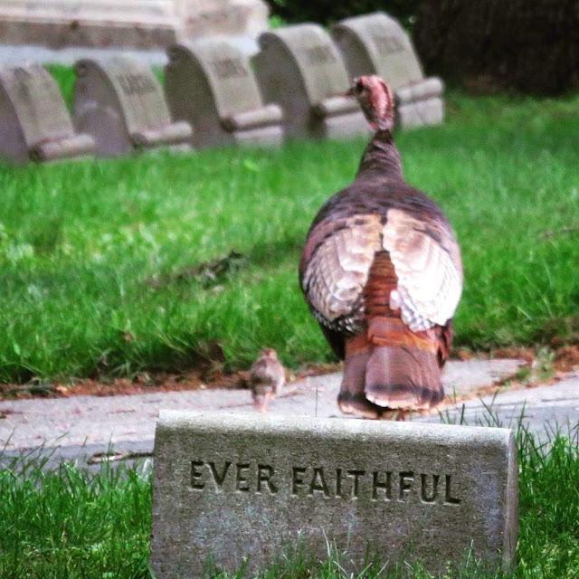 Ever Faithful: Turkey and chick at Mount Auburn Cemetery in Cambridge Massachusetts