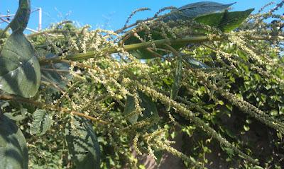 amaranto, planta medicinal