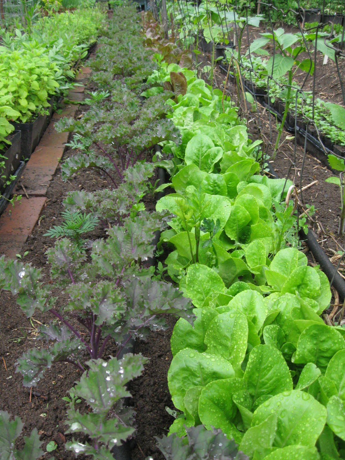 Kgk Gardening Landscape: Our Subsistence Pattern: June 13th Garden Pictures