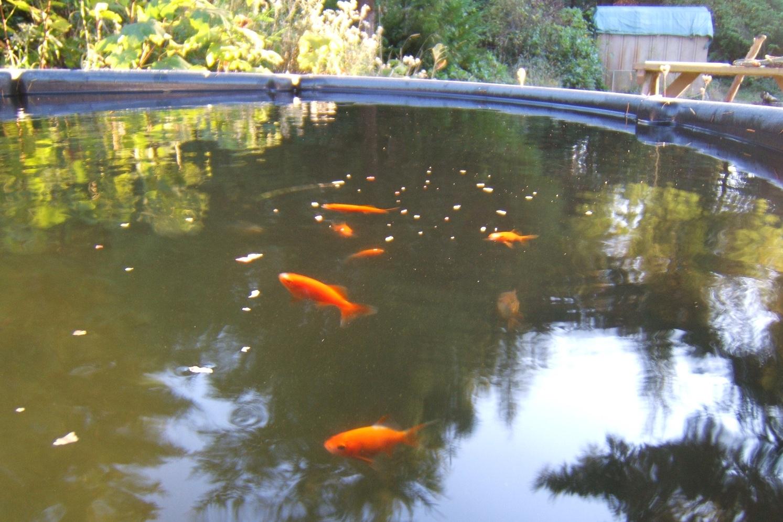 Common Goldfish Size