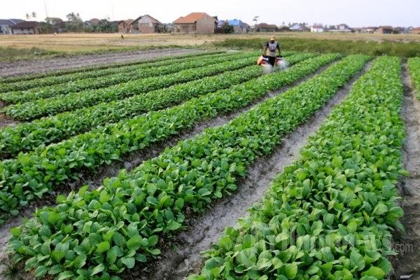 merupakan jenis tumbuhan sayuran yang sanggup ditanam disepanjang animo dan sanggup hidup dibe Cara Menanam Sawi Secara Organik