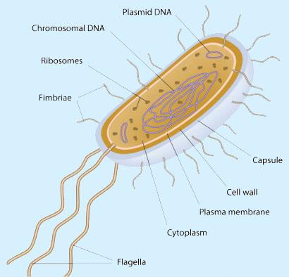 Struktur dan Bentuk Archaebacteria