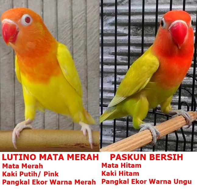 Gambar untuk lovebird paskun vs lutino - sumber: Caragacor