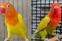 Cara bedakan lovebird pastel kuning dan lutino mata hitam