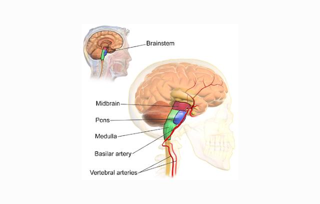 Pengertian, Struktur, Fungsi Batang Otak atau Brainstem