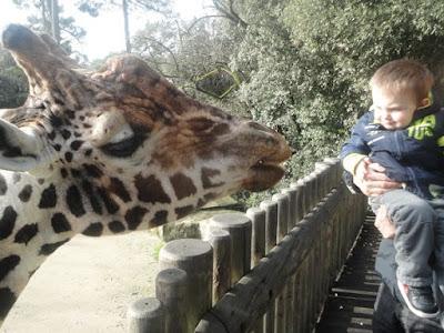 zoo palmyre charente maritime  girafe