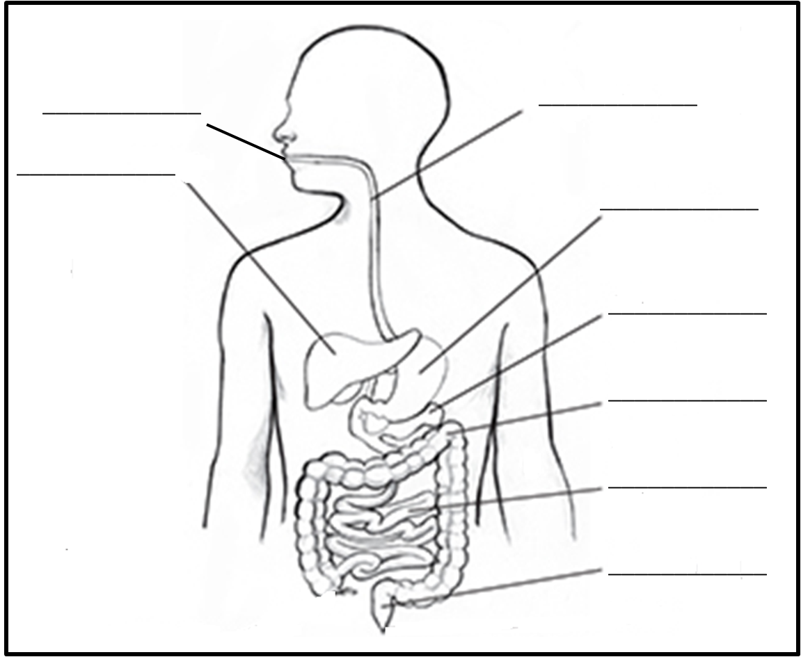 Blank Diagram Of Digestive System